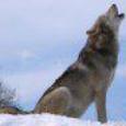 Ivory Wolf