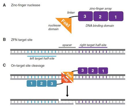 Most zinc-finger nucleases (ZFNs) are designed with four fingers to target 12-nucleotide sequences. ZFNs can be used in pairs, with each one binding to opposite strands of DNA, for a 24-nucleotide target, with a 15-nucleotide