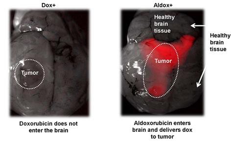 Aldoxorubicin Enters the Brain
