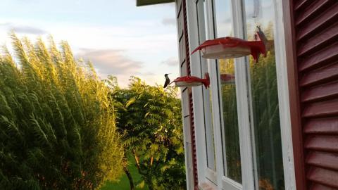 Hummingbird drinking