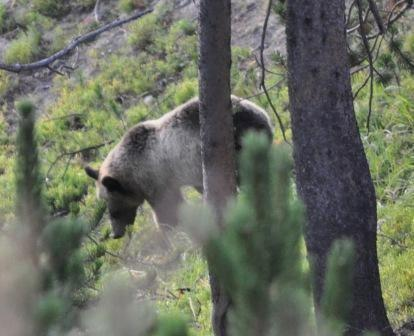 A female grizzly at Yellowstone National Park in 2011.
