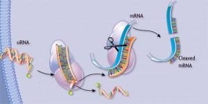 RNAi role in cells