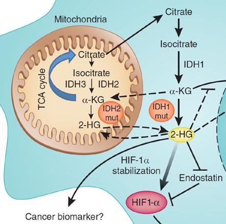 IDH pathways